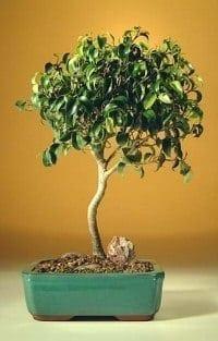 Ficus Oriental Bonsai Tree For Sale - Large (Ficus Orientalis)