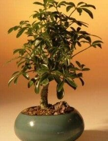Hawaiian Umbrella Bonsai Tree For Sale - Small (arboricola schefflera 'luseanne')