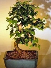 Flowering Ligustrum Bonsai Tree For Sale with Curved Trunk-Medium (ligustrum lucidum)