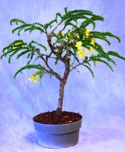 Bahama Berry Bonsai Tree