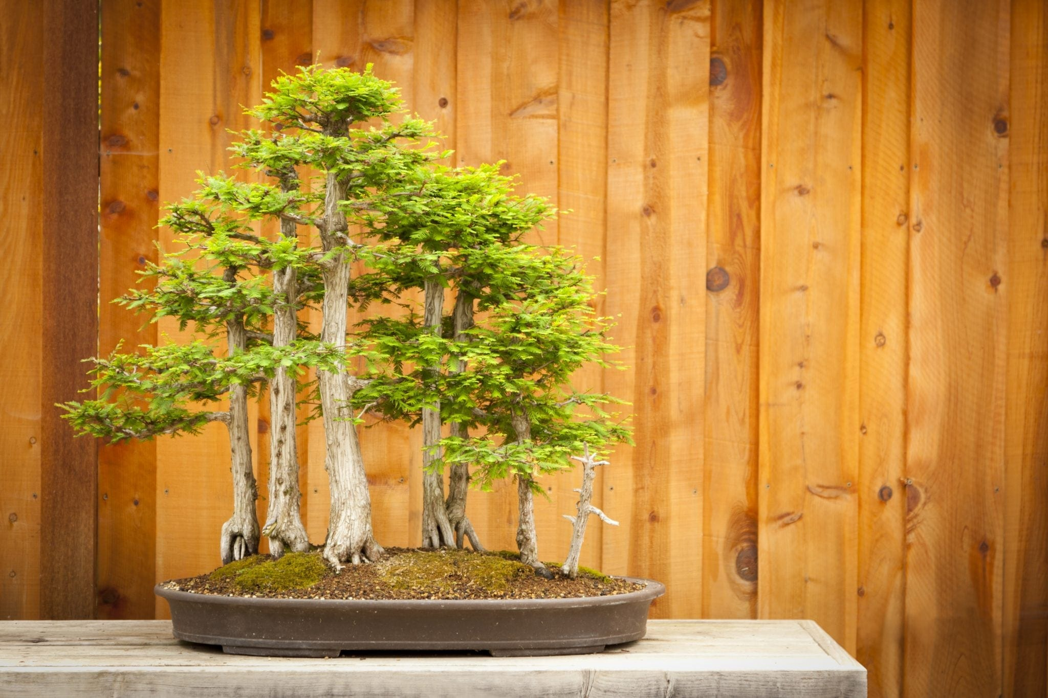 Bald Cypress Bonsai Tree Care Guide Taxodium Distichum Bonsai Tree Gardener