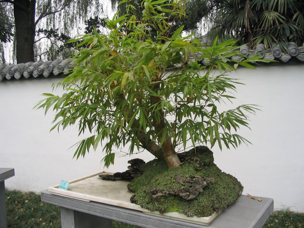 Bamboo Bonsai Tree