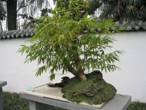 Bambook Bonsai Tree