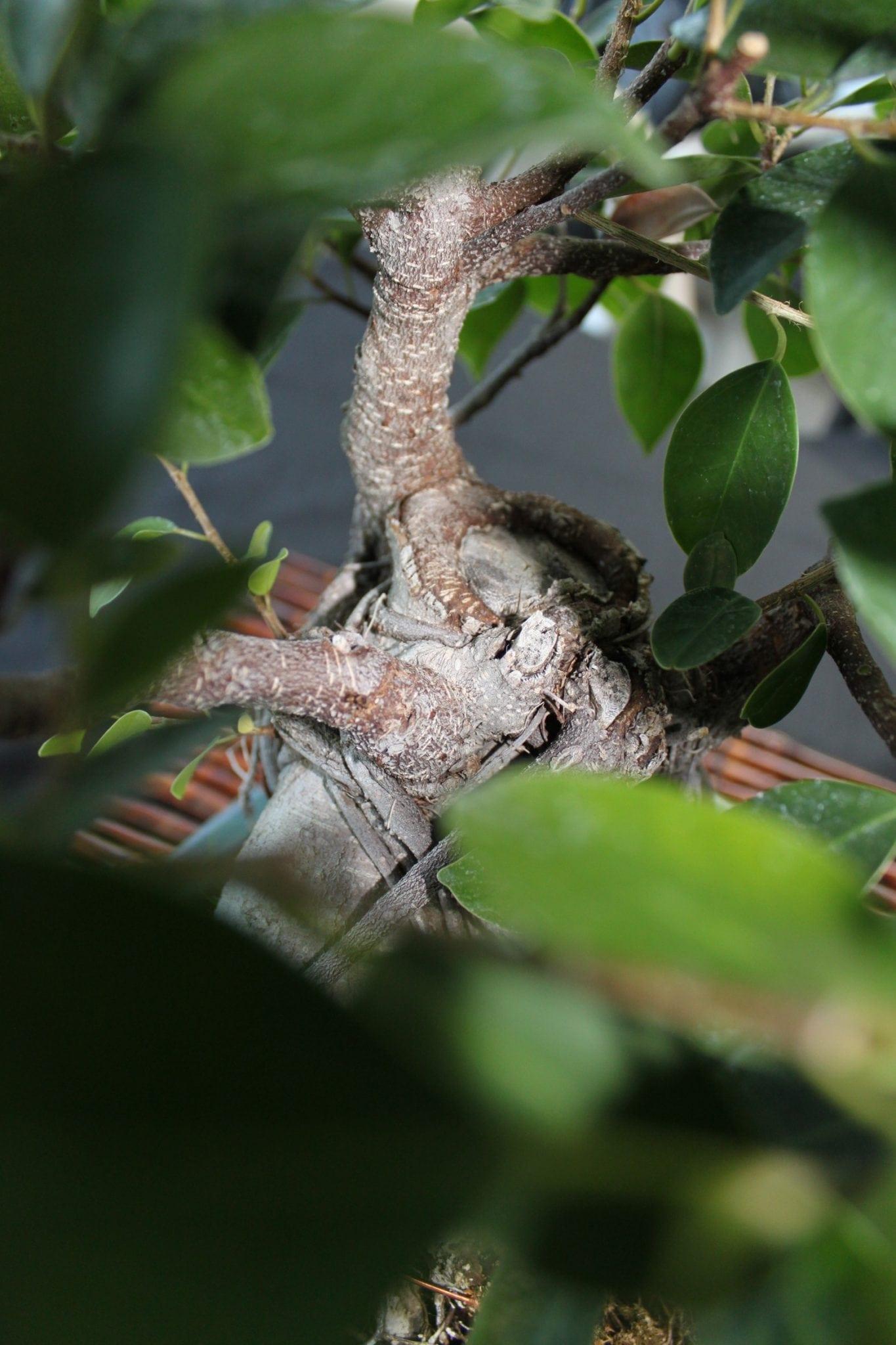 Bonsai Tree Bud Pruning