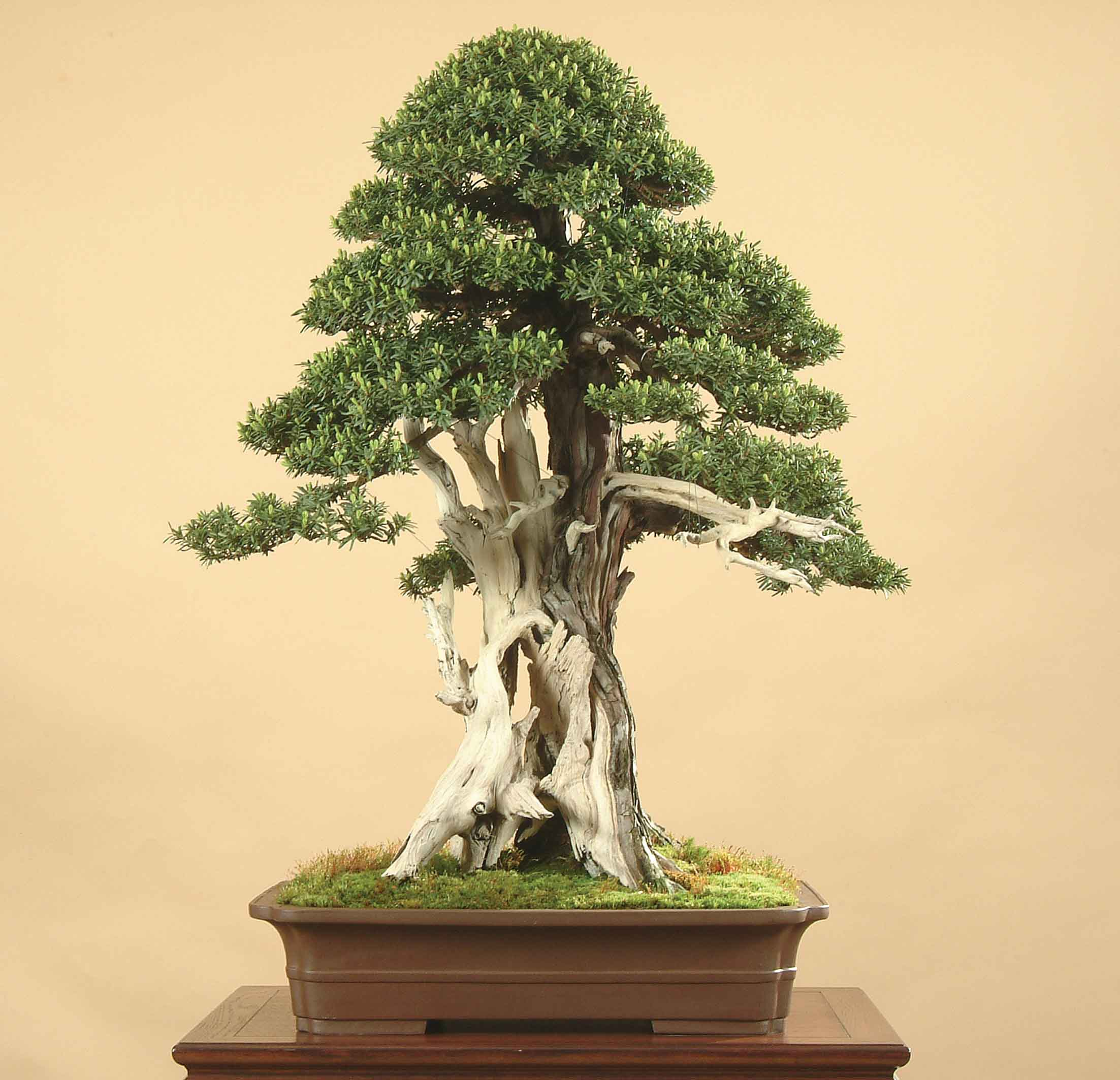 Feng Shui & Bonsai Trees