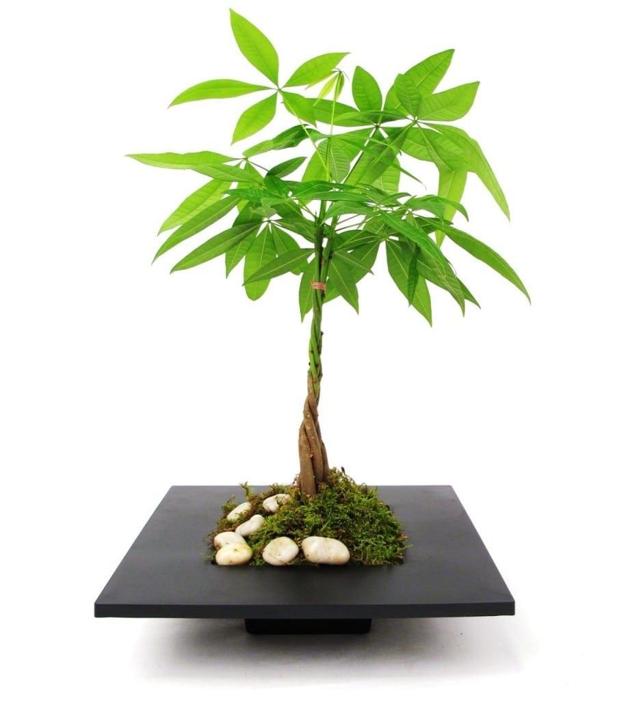 Japanese Good Luck Plant