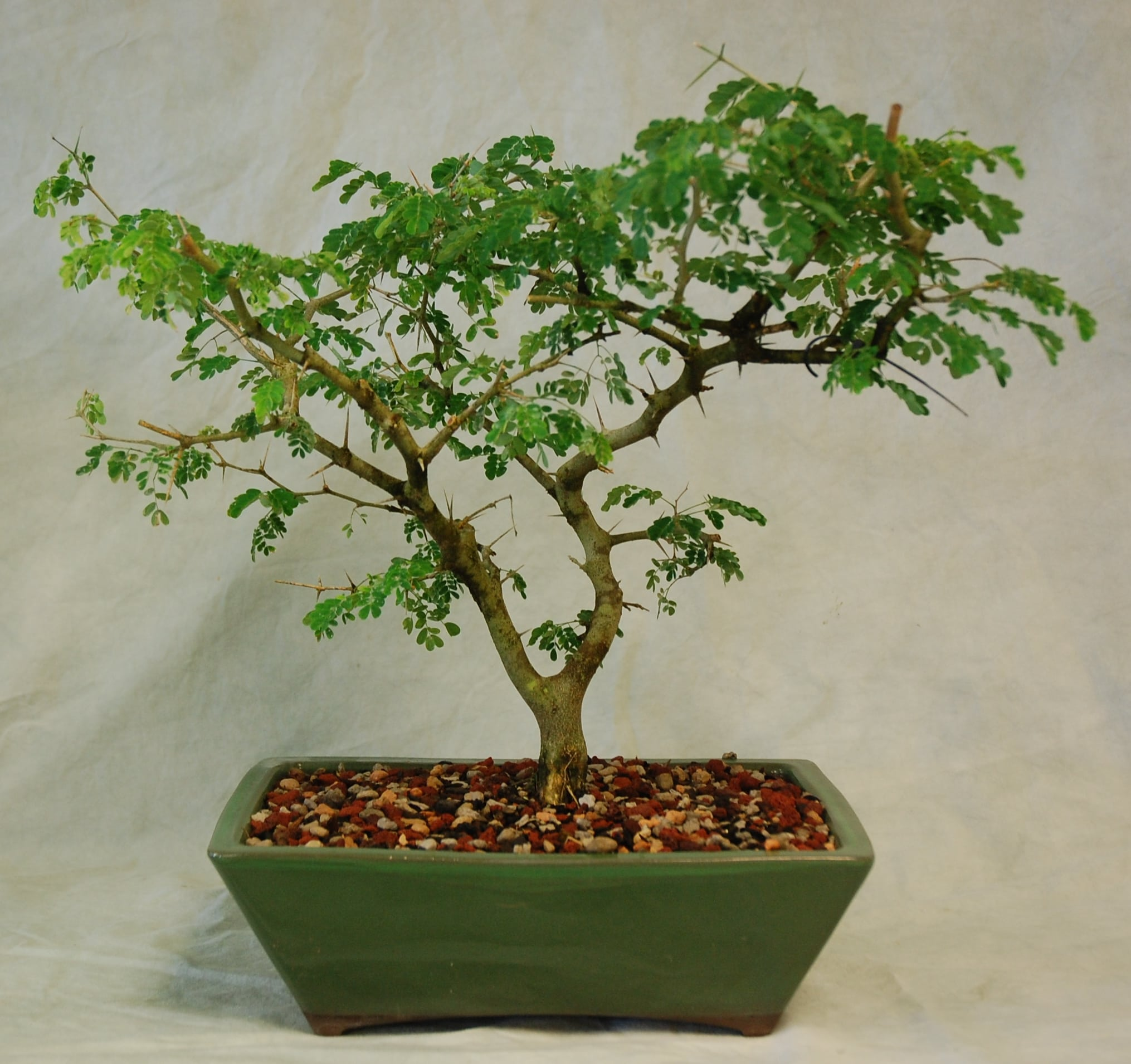 Bonsai Starter Trees