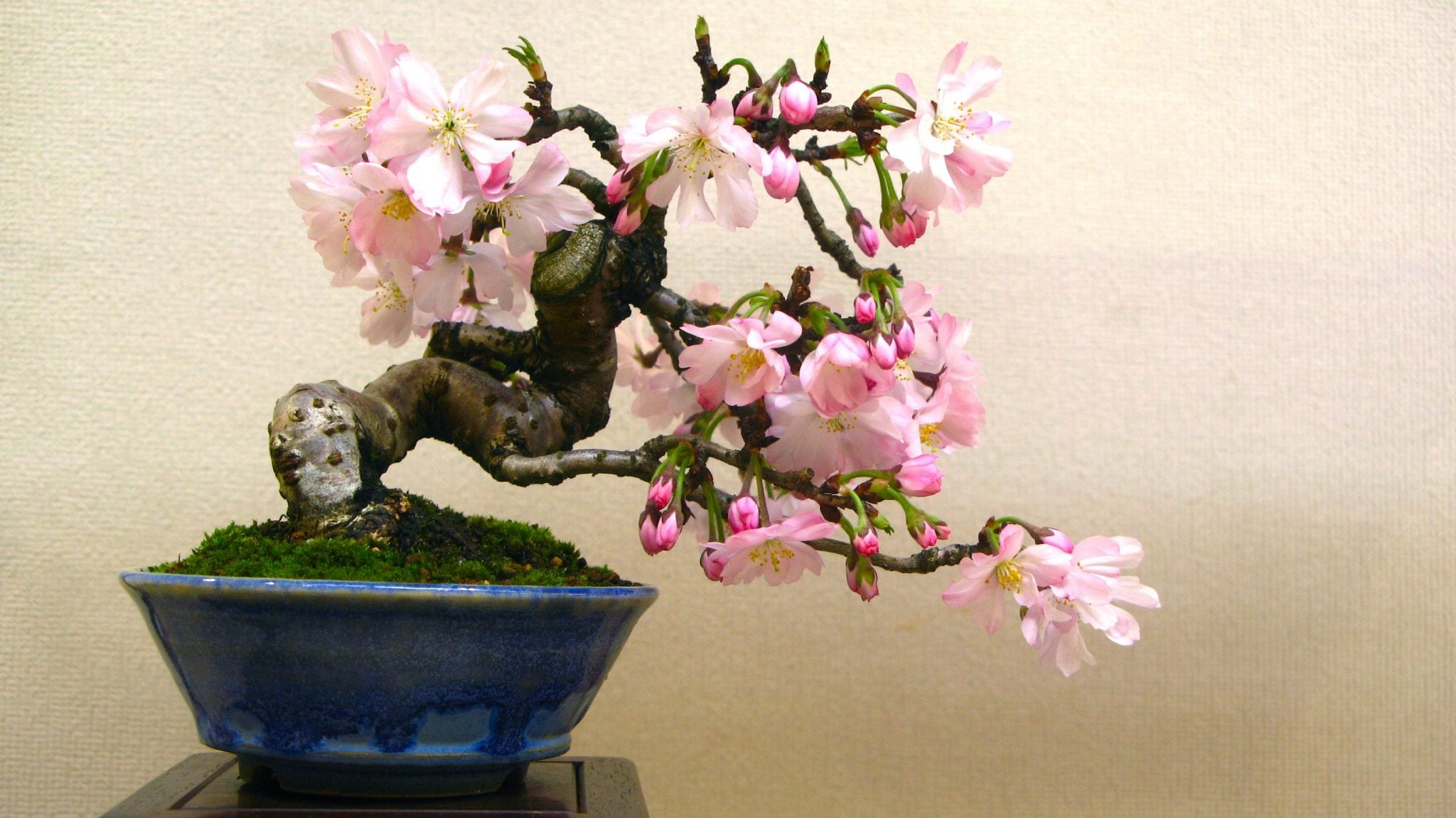 What Does Bonsai Mean And Symbolize Bonsai Tree Gardener
