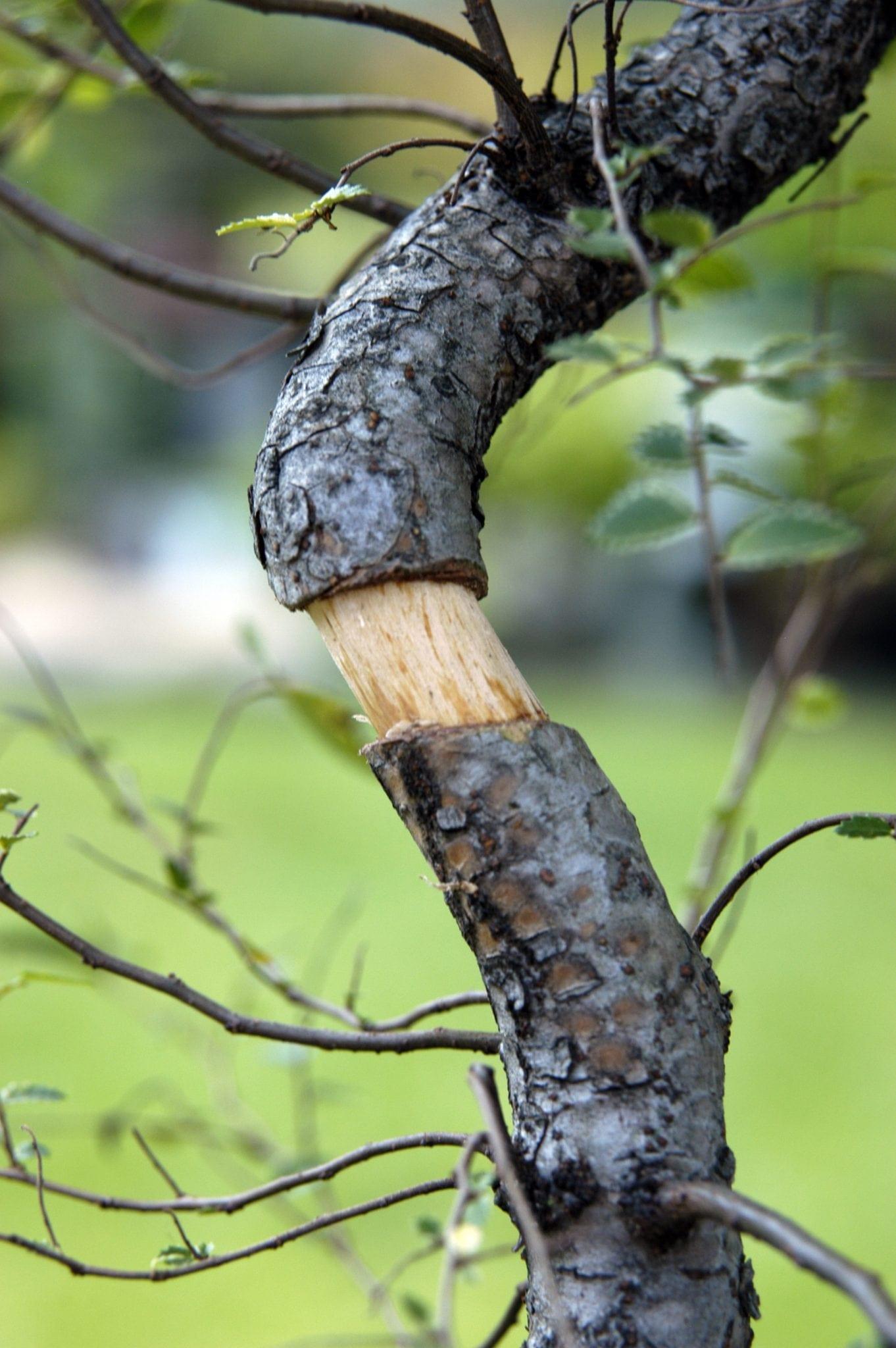 Bonsai Tree Air Layering