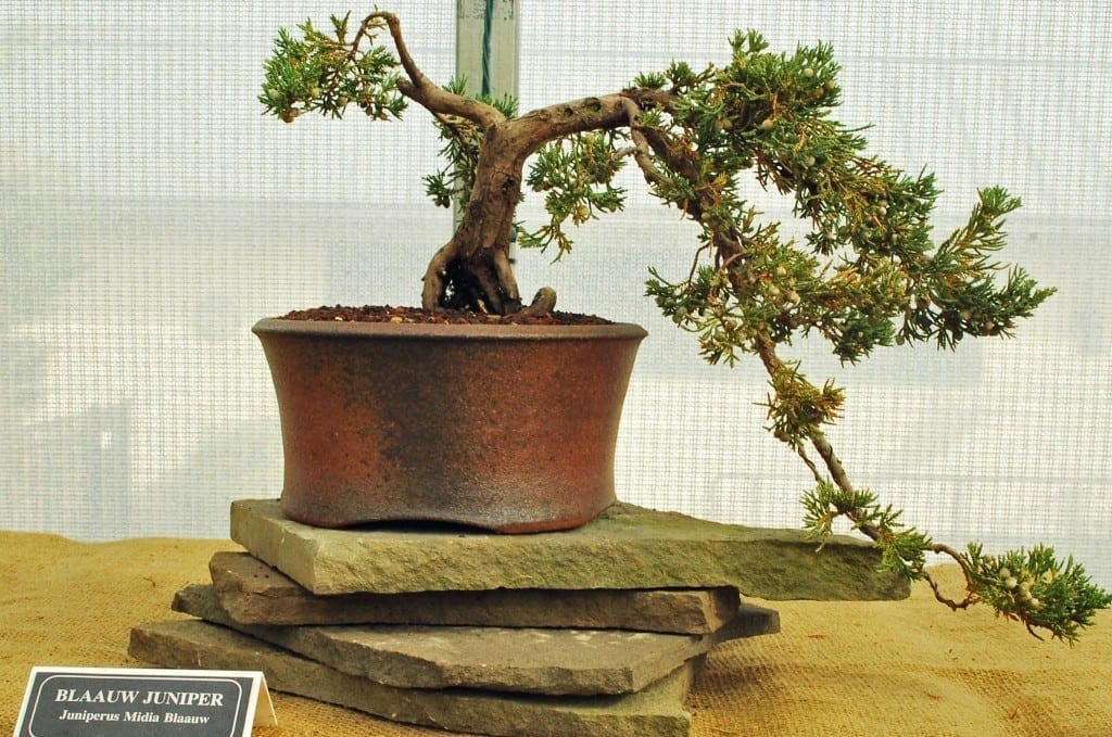 How To Revive A Bonsai Tree With Brown Leaves Bonsai