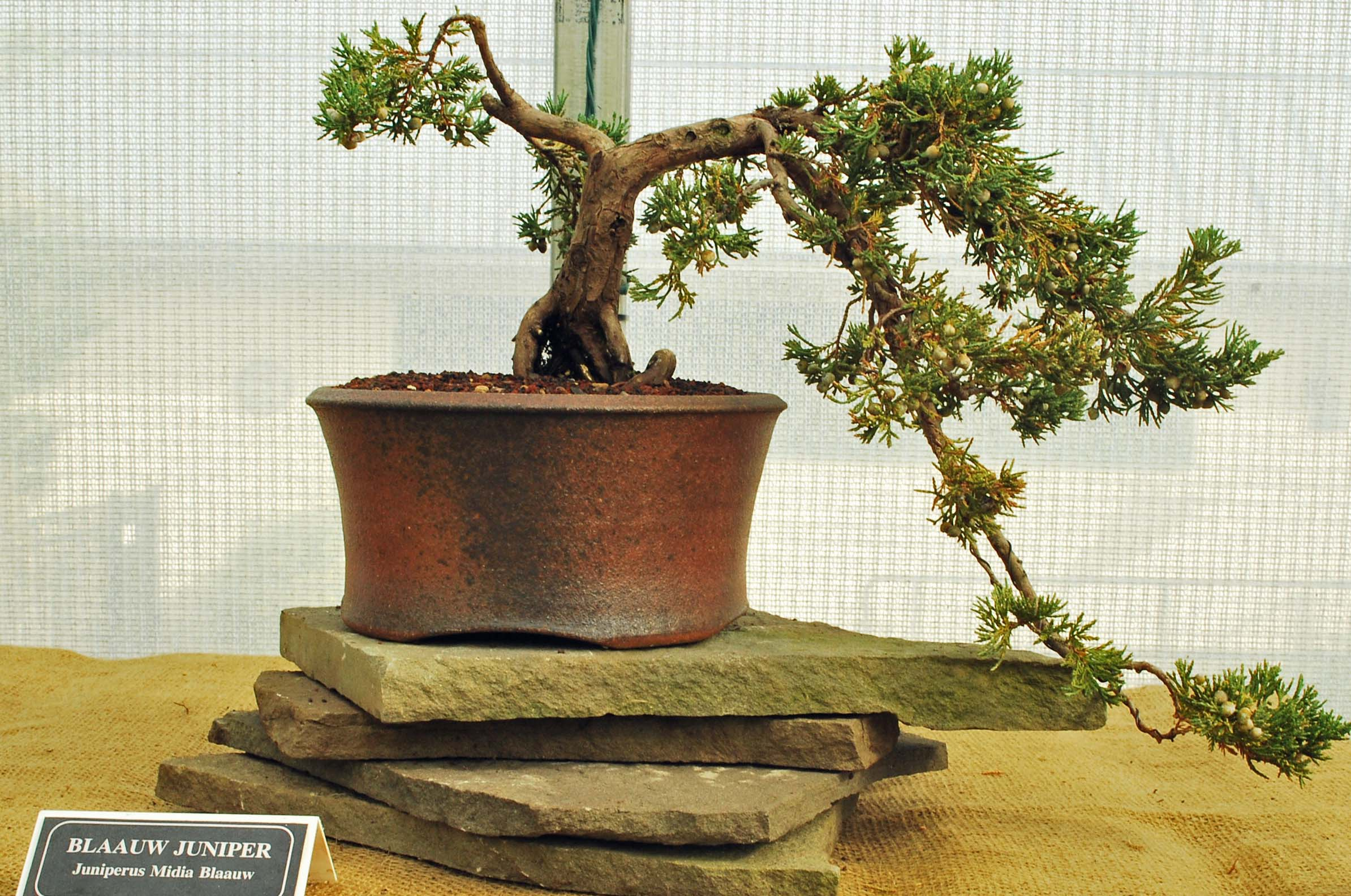 How To Revive For Bonsai Trees With Brown Leaves