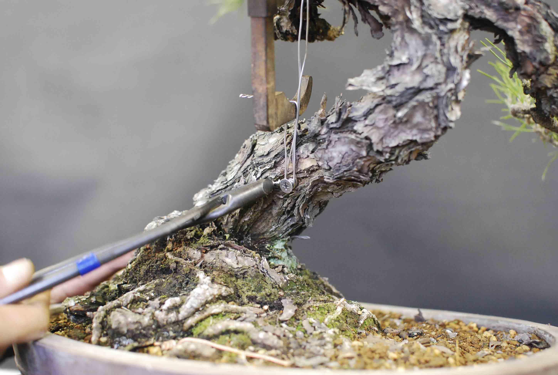 Bonsai Tree Clamping