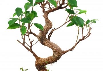 Bonsai Tree Cuttings