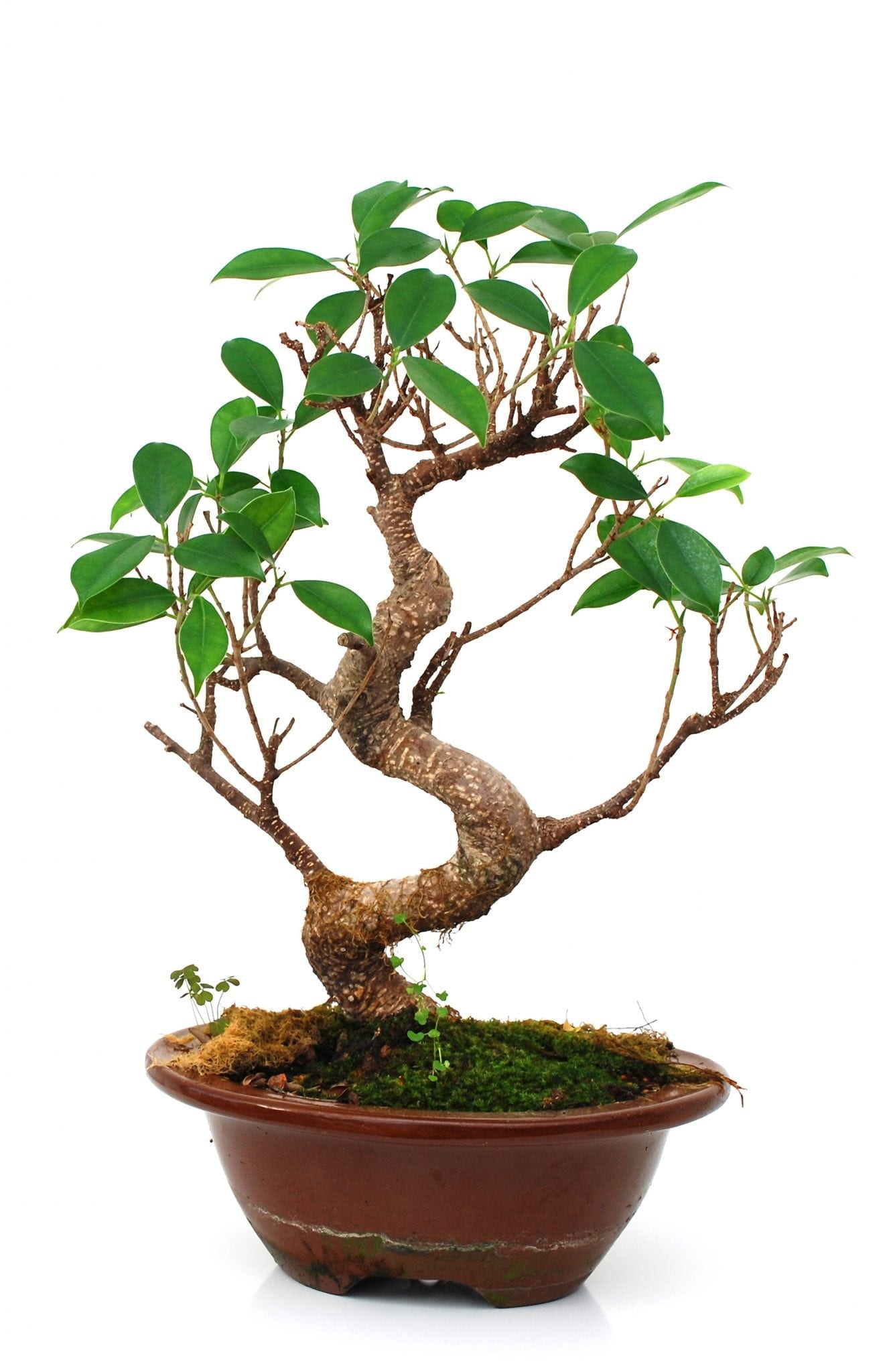 Bonsai Tree Cuttings