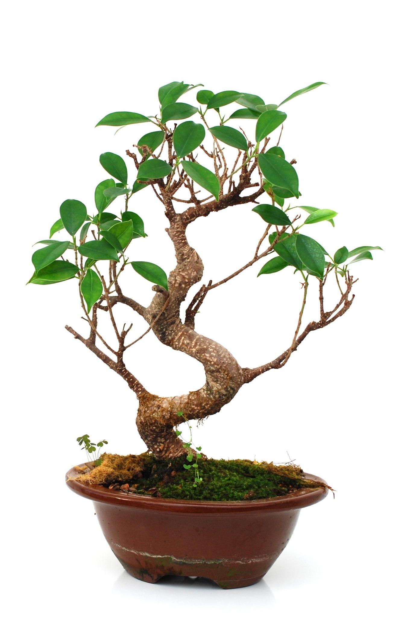 How To Grow Bonsai Trees From Cuttings Bonsai Tree Gardener