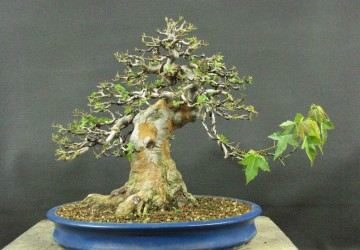Bonsai Tree Defoliation