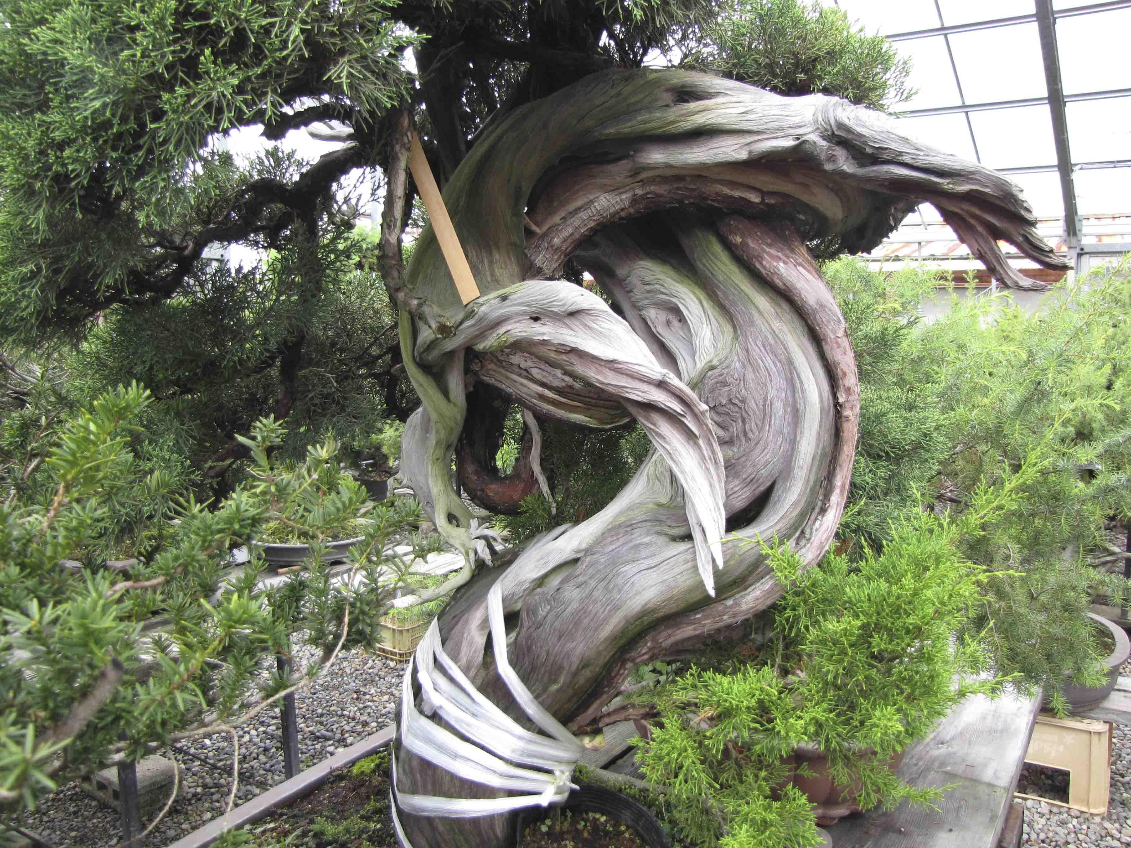 Bonsai Tree Grafting