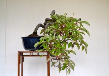 Bonsai Tree Harvesting Wild Plants