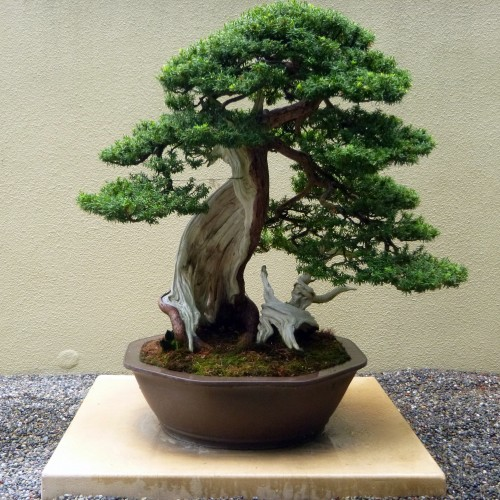 bonsai tree intro bought bonsai tree