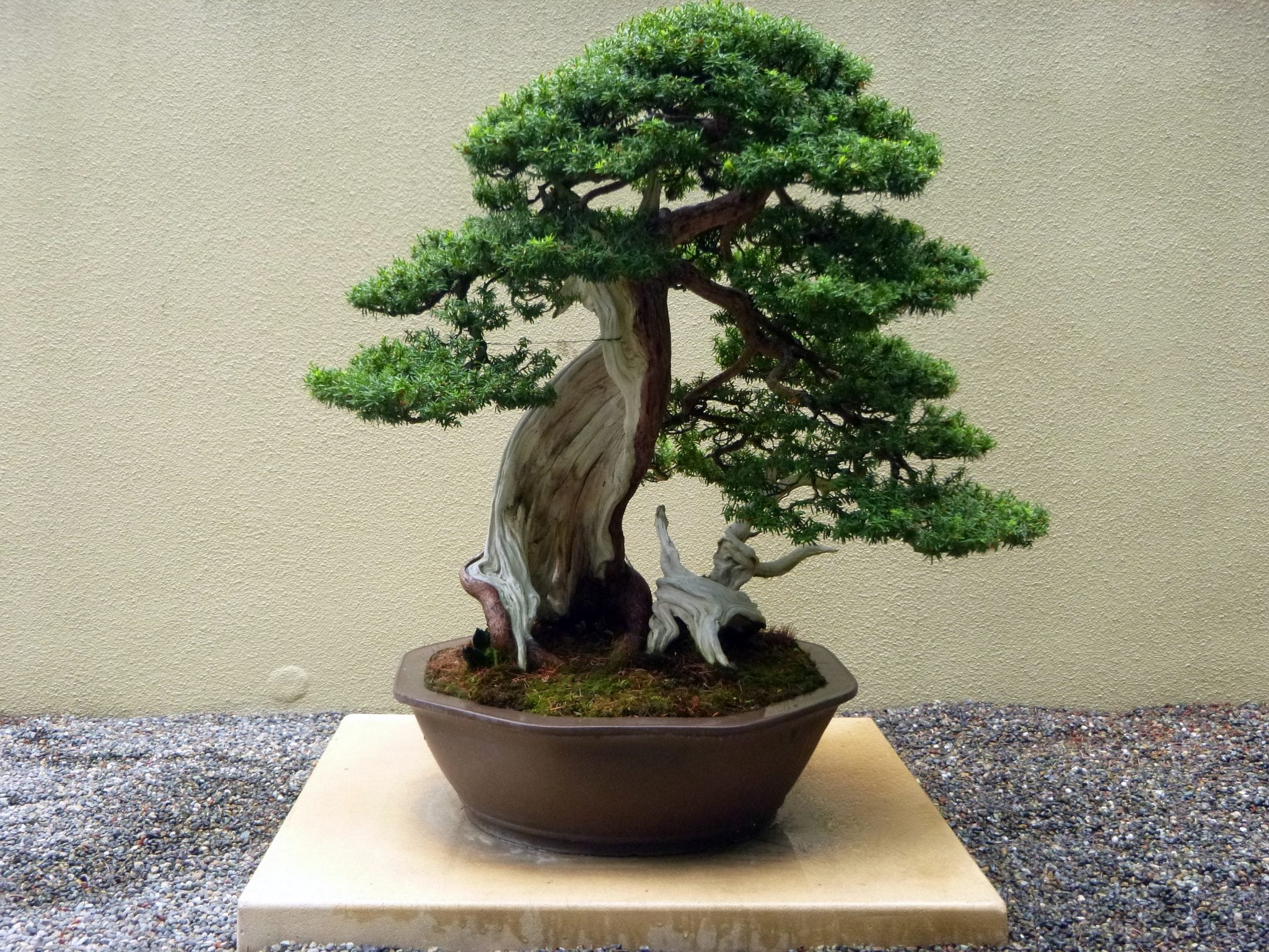 bonsai trees in depth introduction bonsai tree