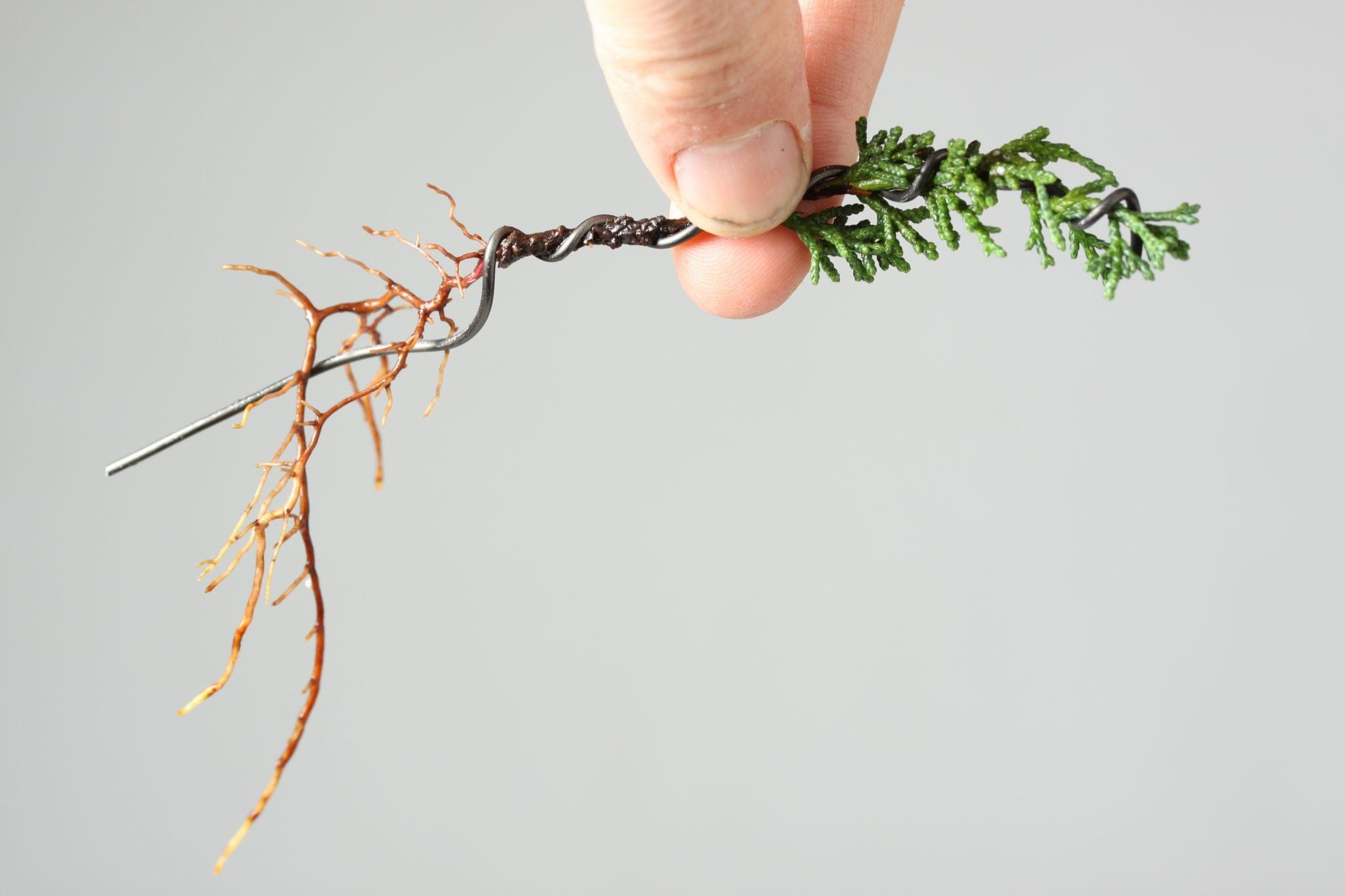 Bonsai Tree Pests & Diseases