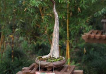 Bonsai Tree Positiong & Location