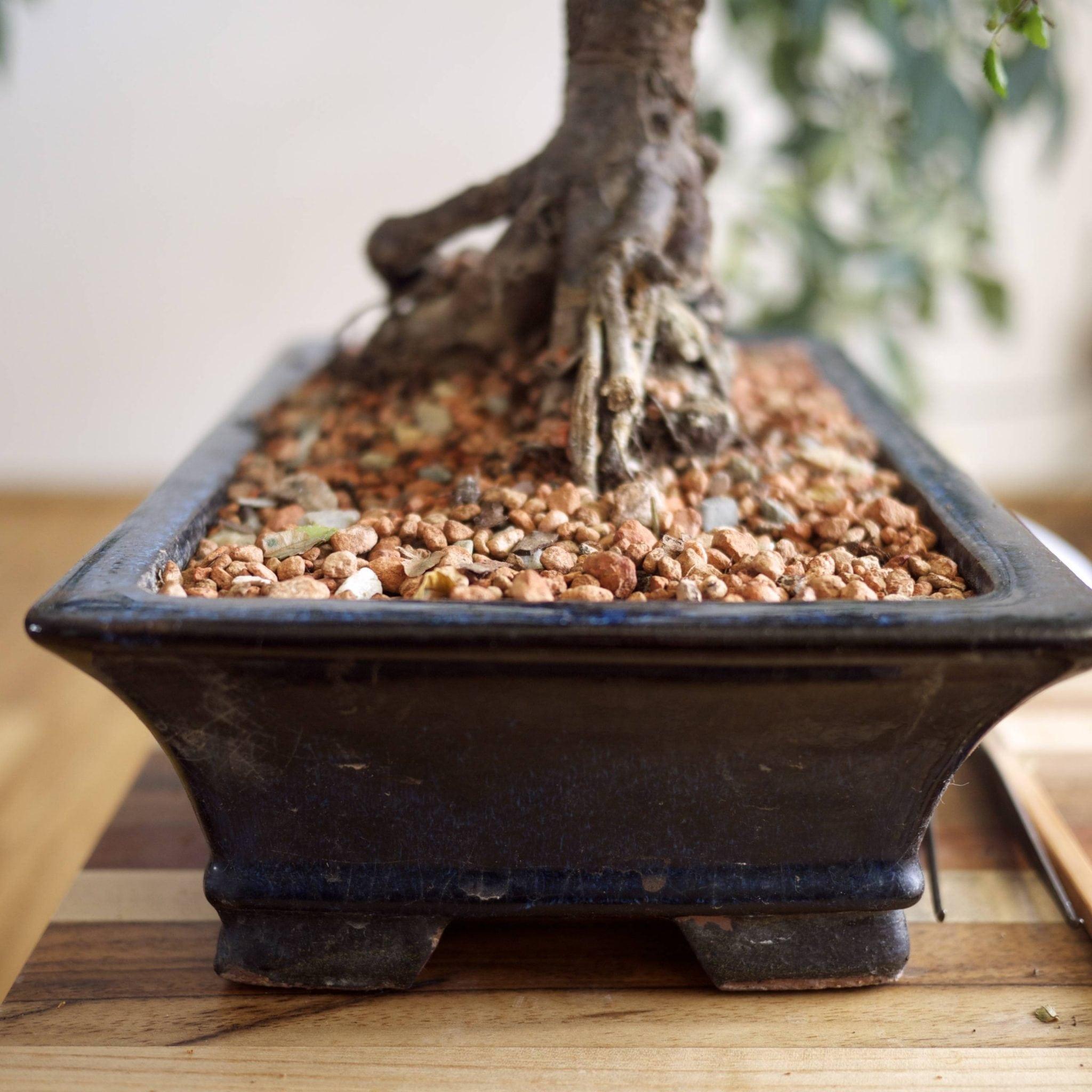 How To Repot A Bonsai Tree Bonsai Tree Gardener