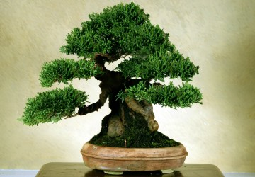 Bonsai Tree Size Classification