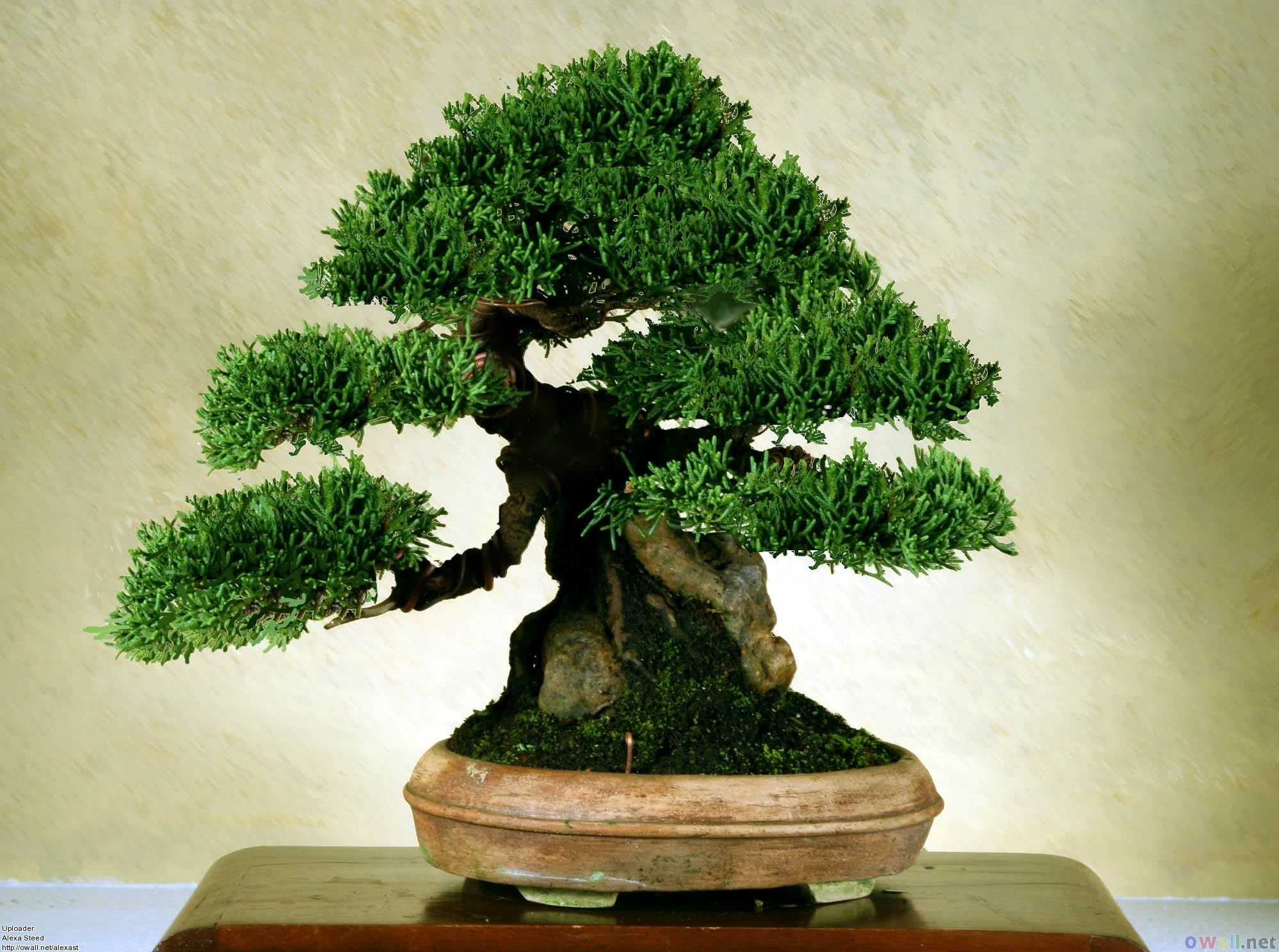 bonsai trees size classification
