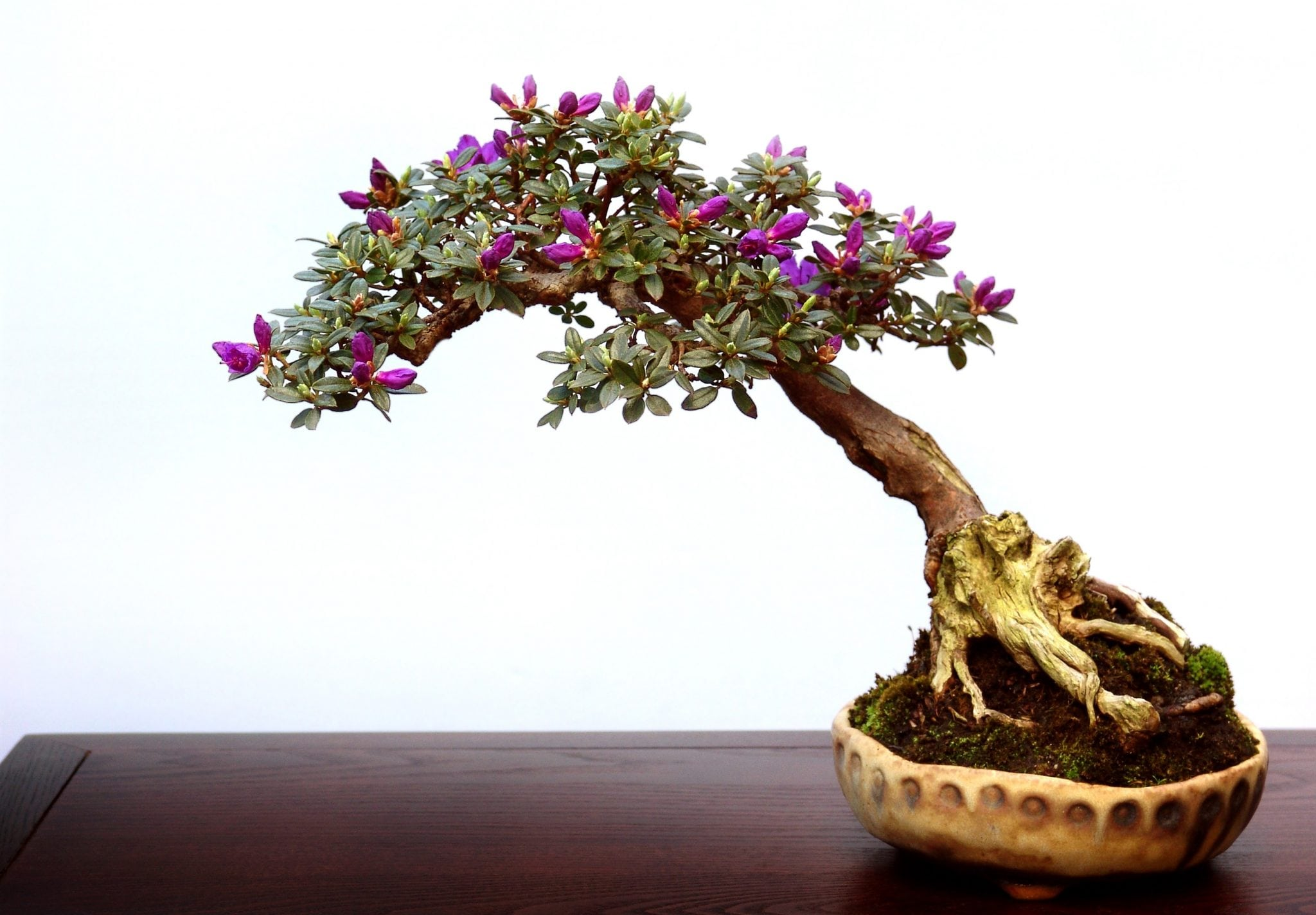 how to keep bonsai tree leaves small