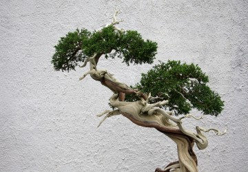 Bonsai Tree Techniques