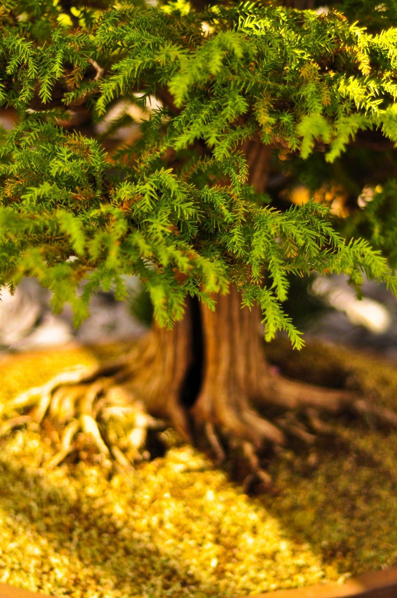 Bonsai Tree Temperature