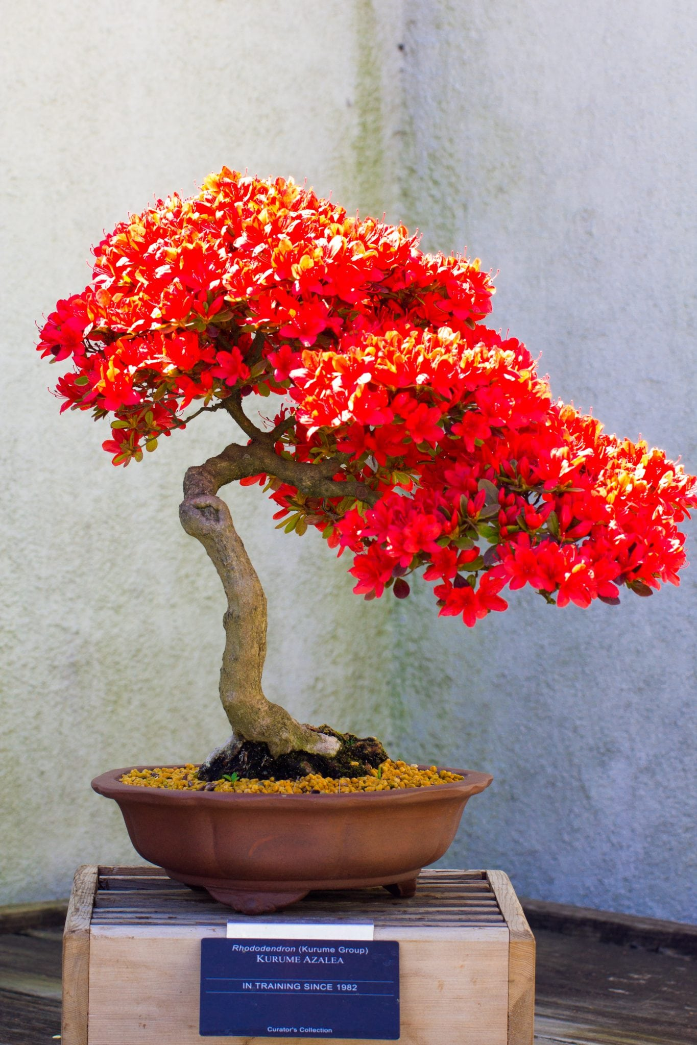 Bonsai tree types with pictures images for Azalea bonsai