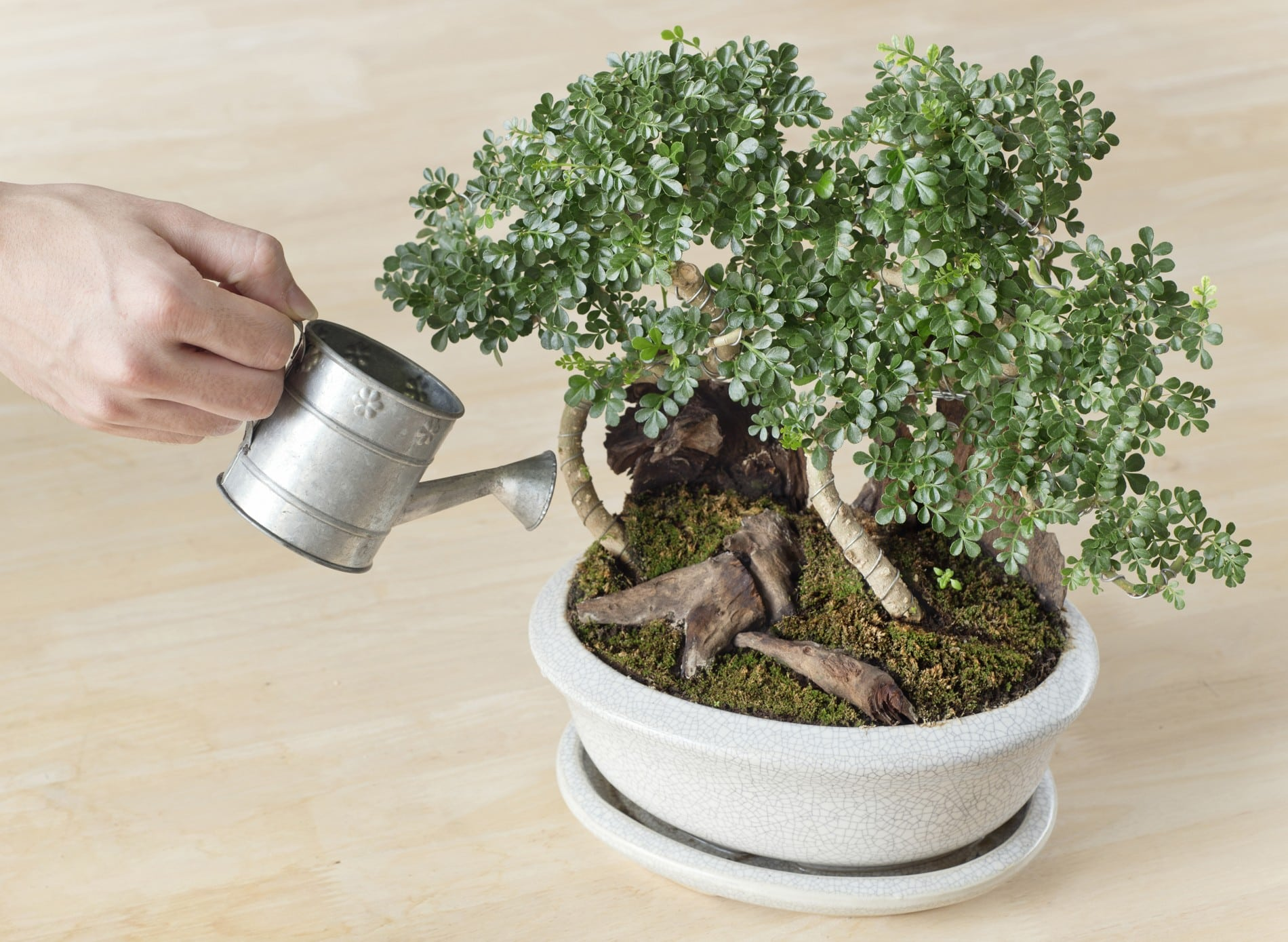 Watering Bonsai Trees