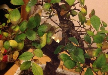 How To Care For Bonsai Trees With Yellow Leaves