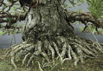 Bonsai Tree Trunk