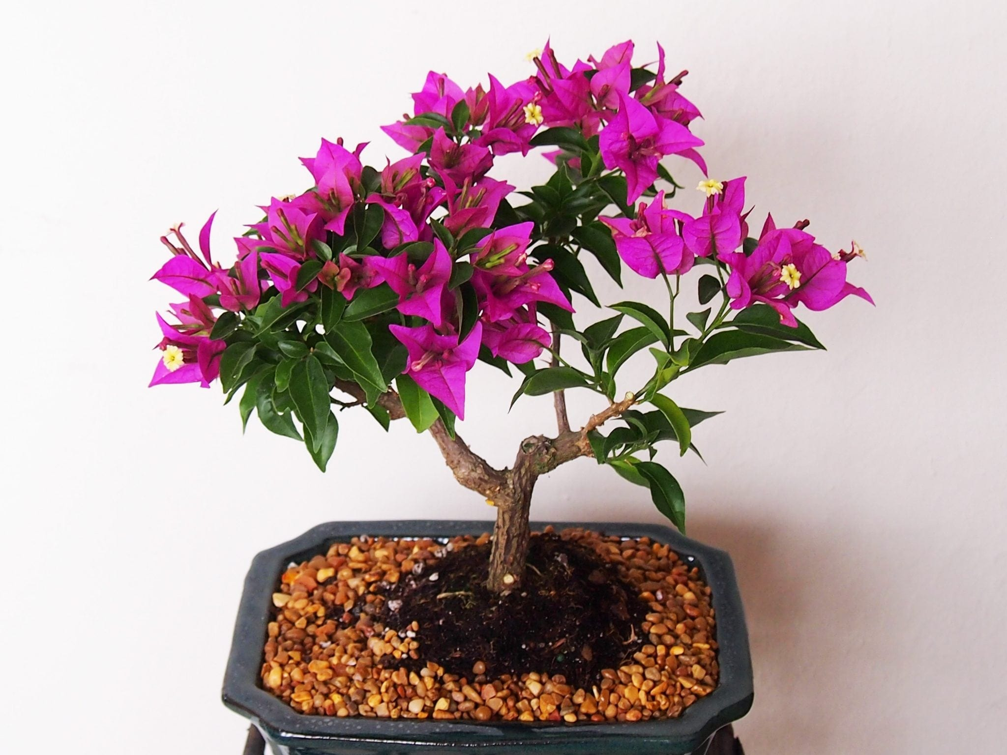 Bougainvillea Bonsai Tree Care Guide Bougainvillea Glabra Bonsai Tree Gardener