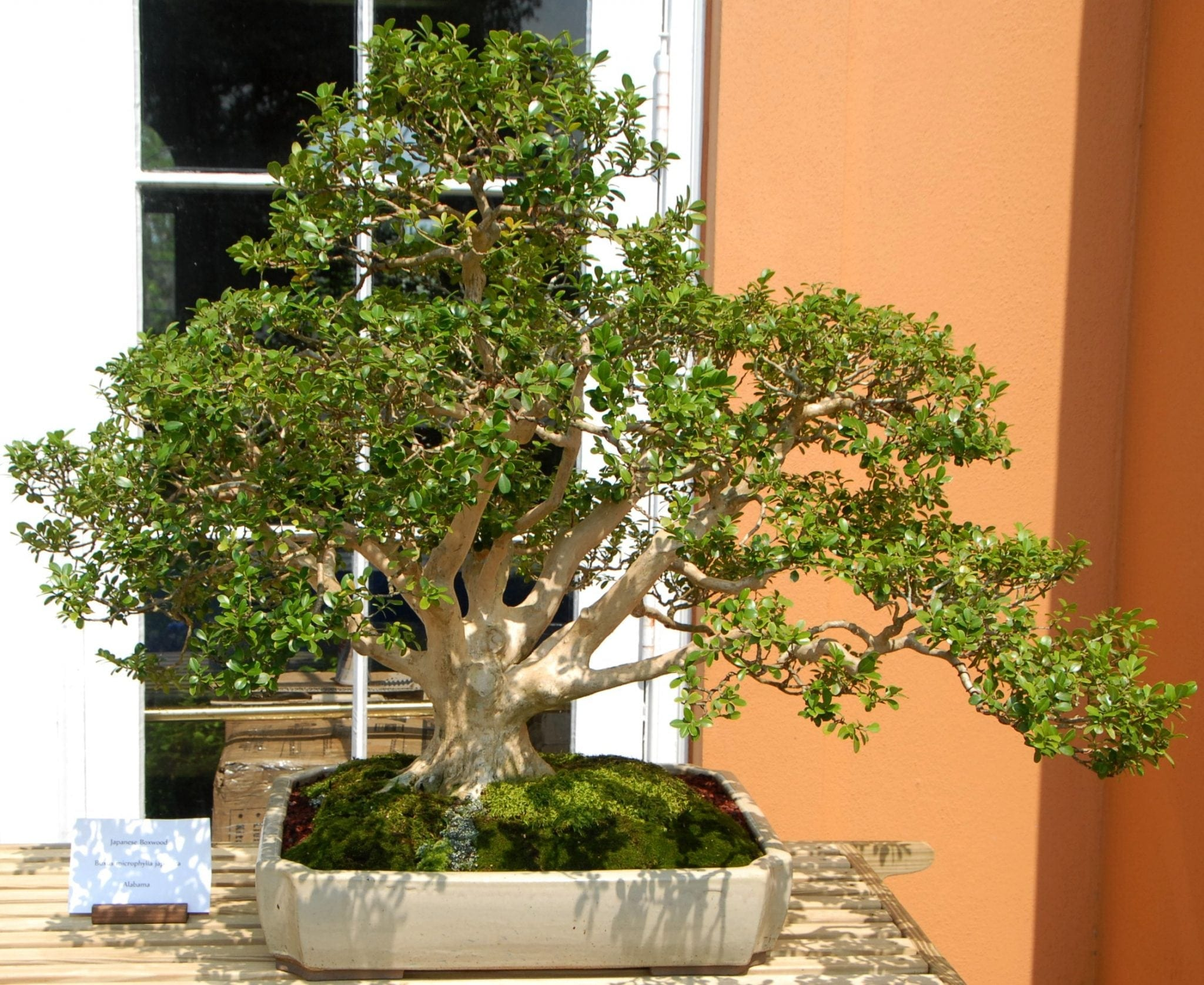Boxwood Bonsai Tree Care Guide Buxus Sempervirens Wiring Styles