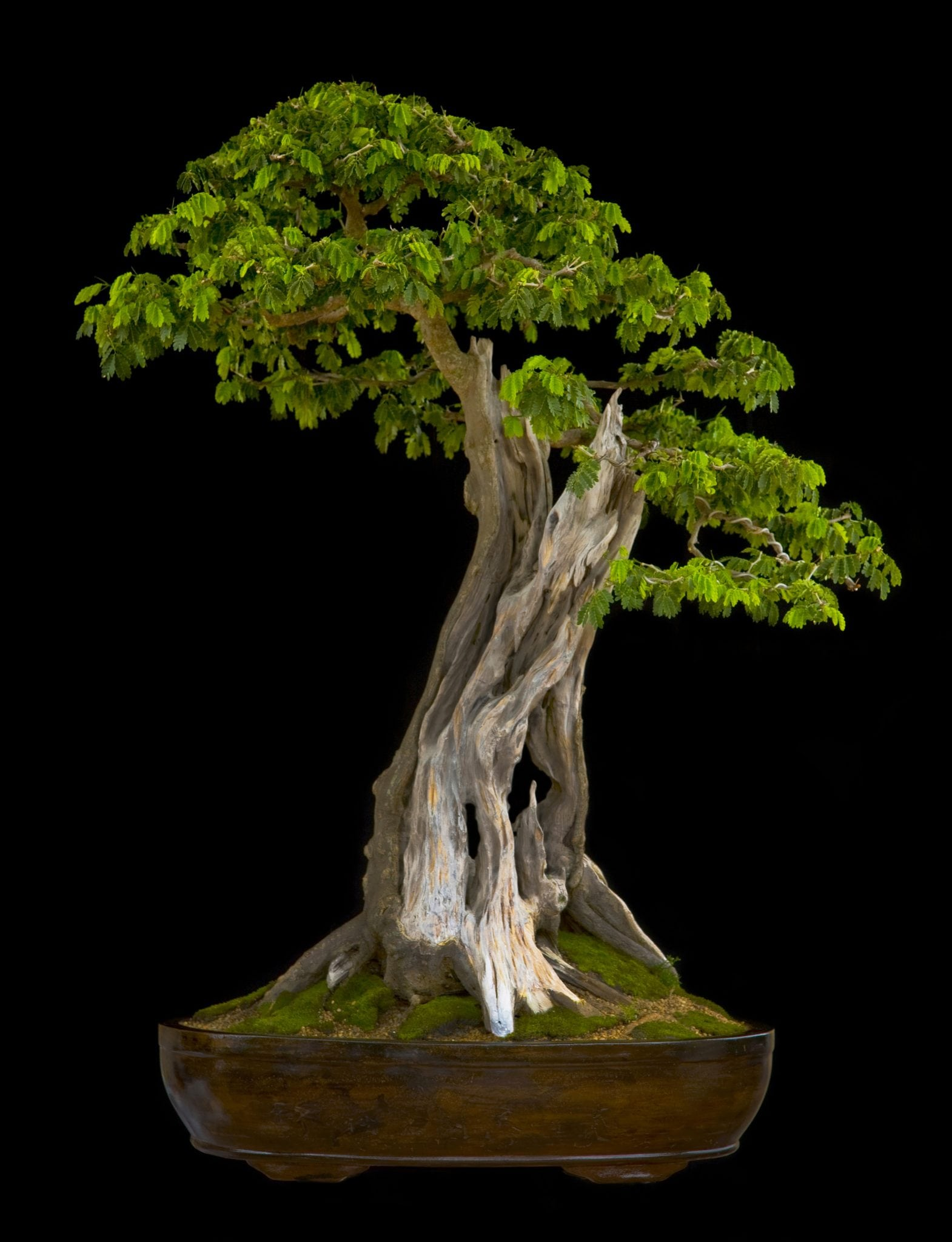 Broadleaf Bonsai Tree