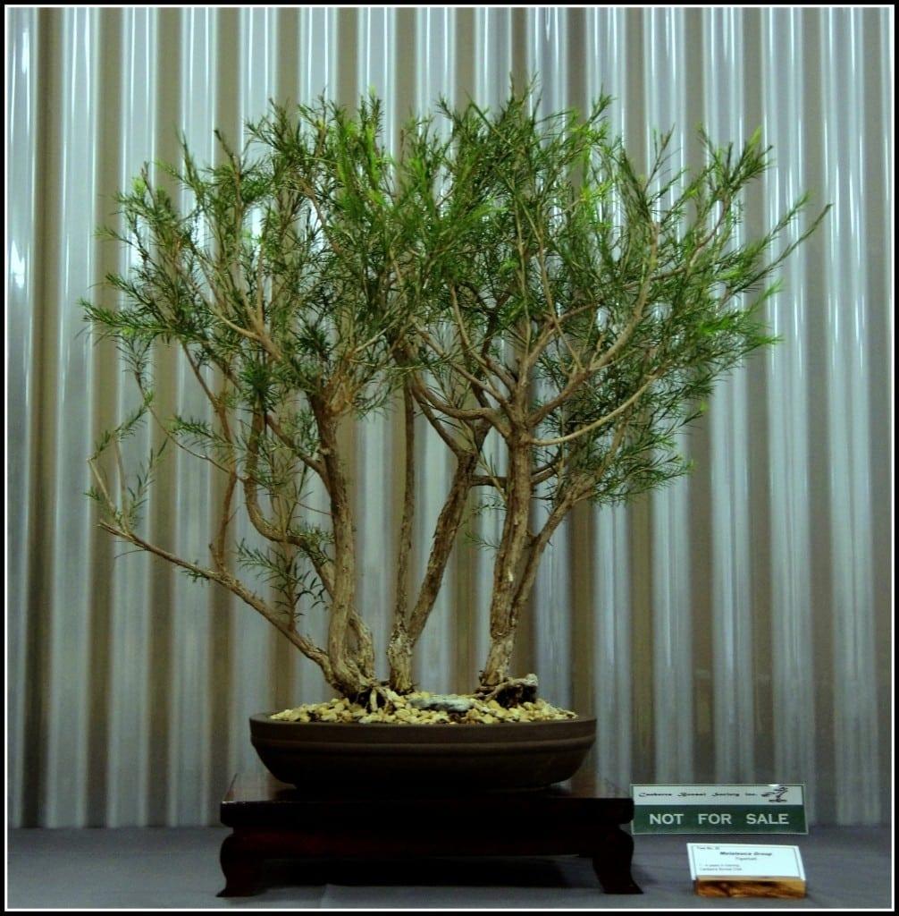 Bromeliad Bonsai Tree