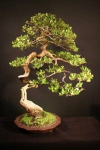 Buttonwood Bonsai Tree