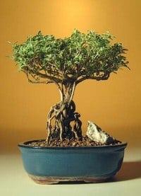 Flowering Mount Fuji Serissa Bonsai Tree For Sale With Raised Roots Serissa Foetida Bonsai Tree Gardener