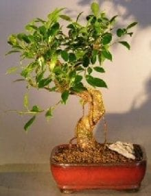 Ficus Retusa Bonsai Tree For Sale - Medium Curved Trunk Style