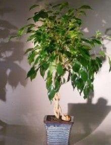 Ficus Braided Twist Bonsai Tree For Sale (Ficus Compacta)