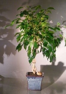 Ficus Braided Twist Bonsai Tree For Sale (Ficus Compacta)