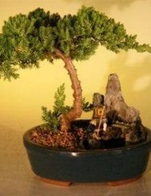 Juniper Bonsai Tree For Sale -Stone Landscape Scene - Large (Juniper Procumbens nana)