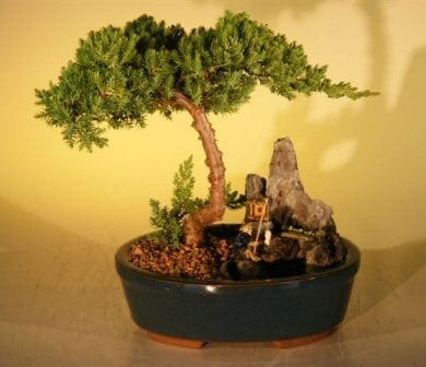 Juniper Bonsai Tree For Sale -Stone Landscape Scene - Large (Juniper Procumbens nana)