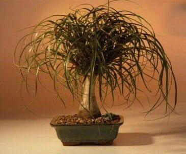 Ponytail Palm Bonsai Tree For Sale Large Beaucamea Recurvata Bonsai Tree Gardener