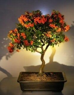 Flowering Pyracantha Bonsai Tree For Sale 2 Pyracantha Mohave Bonsai Tree Gardener