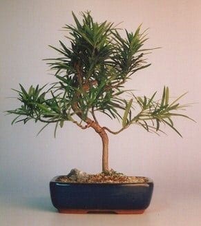 Flowering Podocarpus Bonsai Tree For Sale Styled - Medium (podocarpus macrophyllus)